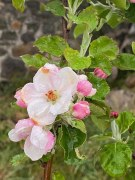 Pampilles Tourmalines Roses